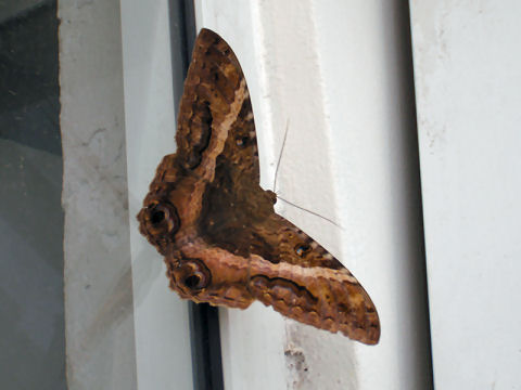 Black Witch Moth - I think