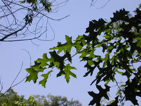 Skylit leaves in Central Park