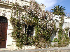 Colonia flowering vines on a wall