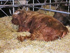 Hairy Brown Cow - a West Highland