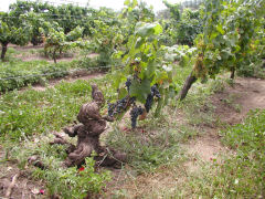 A still productive Tannat vine, more than a century old
