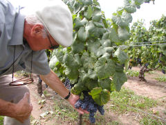 Senor Abbona shows us some of the old vine Tannat