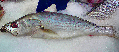 Pescadilla - Striped Weakfish