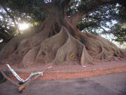 Banyan tree in Plaza Alvear
