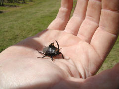 Vinedo de los Vientos - horned beetle