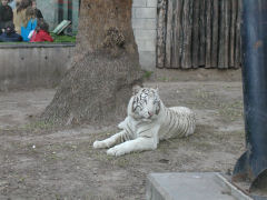 Buenos Aires Zoo - white tiger